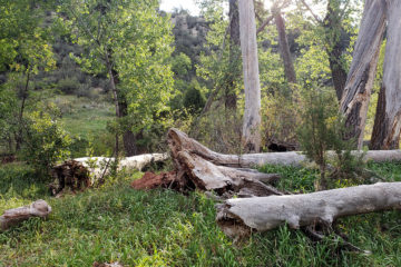 Cottonwoods in the Valley | Humanitou Poetry