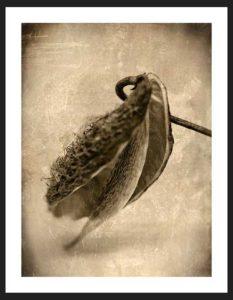 Milkweed | Humanitou Fine Art Photography
