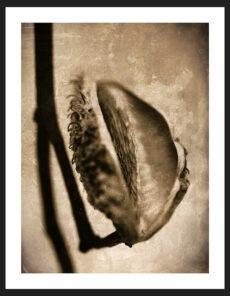 Milkweed II | Reverence Art Photography by Adam Williams